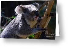 Koala In A Gum Tree Greeting Card