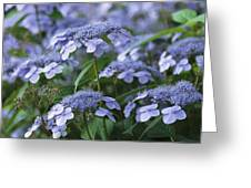 Lace Cap Hydrangeas In Bloom Greeting Card
