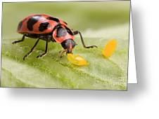 Lady Beetle Eats Potato Beetle Eggs Greeting Card