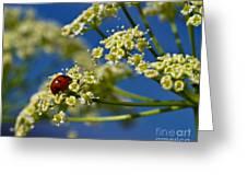 Lady Bug On Osha At Lake Irwin Greeting Card