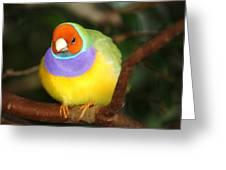 Lady Gouldian Finch Greeting Card
