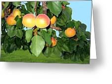 Lake Country Apricots Greeting Card