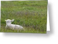 Lamb In Pasture, Alberta, Canada Greeting Card