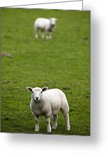 Lambs In A Field Greeting Card