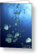 Large School Of Batfish, Christmas Greeting Card