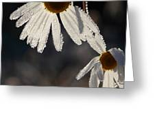 Late Blooming Marguerite Flowers Greeting Card