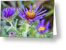 late Summer Fleabane Greeting Card