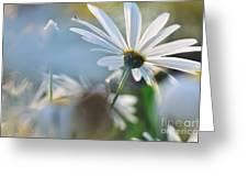 Late Sunshine On Daisies Greeting Card