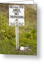 Laughing Gull Larus Atricilla Greeting Card