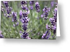 Lavender Greeting Card