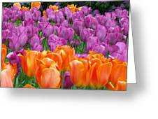Lavender And Orange Tulips Greeting Card