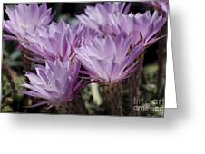 Lavender Cactus Flowers Greeting Card