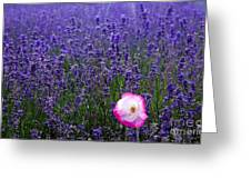 Lavender Field With Poppy Greeting Card