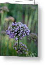 Lavender Flowering Onion Greeting Card