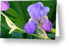 Lavender Iris On Green Greeting Card