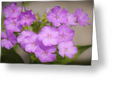 Lavender Phlox Greeting Card