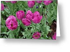 Lavender Tulips Greeting Card