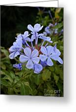 Leadwort Greeting Card