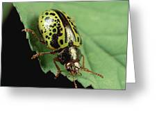 Leaf Beetle Calligrapha Sp Portrait Greeting Card