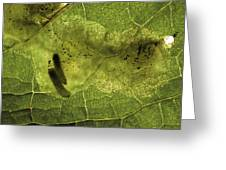 Leaf Miners In A Dock Leaf Greeting Card by Vaughan Fleming
