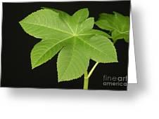 Leaf Of Castor Bean Plant Greeting Card