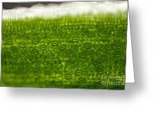 Leaf Stomata, Lm Greeting Card