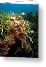 Leafy Sea Dragon Greeting Card by Peter Scoones