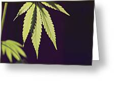 Leaves Of A Marijuana Plant Cannabis Greeting Card