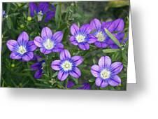 Legousia Pentagonia Flowers Greeting Card by Bob Gibbons