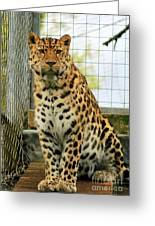 Leopard 6 Greeting Card