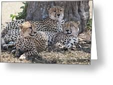 Leopards, Kenya, Africa Greeting Card