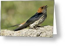 Lesser Striped Swallow Greeting Card by Peter Chadwick