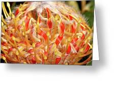 Leucospermum Greeting Card
