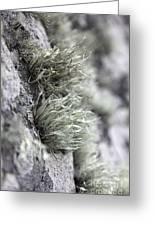 Lichen Niebla Podetiaforma Greeting Card
