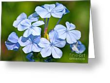 Light Blue Plumbago Flowers Greeting Card by Carol Groenen