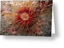 Light Brown Dark Banded Cylinder Anemone Greeting Card