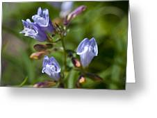 Light Purple Wild Penstemons  Greeting Card
