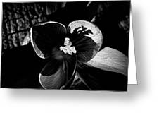 Light Study Of A Crocus Greeting Card