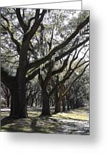Light Through Live Oaks Greeting Card