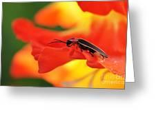 Lightning Bug On Gladiolus Greeting Card