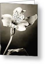 Lilly Flower B And W Greeting Card