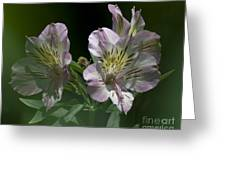Lily - Liliaceae 3 Greeting Card