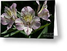Lily - Liliaceae Greeting Card
