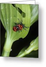 Lily Beetles Mating Greeting Card