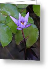 Lily In Lavender Greeting Card