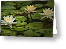 Lily Pads And Blossoms. No186 Greeting Card
