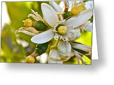 Lime Blooms And Fruit Greeting Card