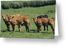 Limousin Calves Greeting Card