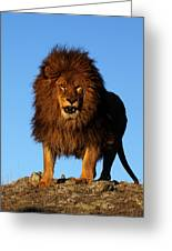 Lion In The Sky Greeting Card