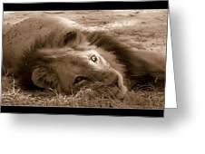 Lion Of Afrrica Greeting Card